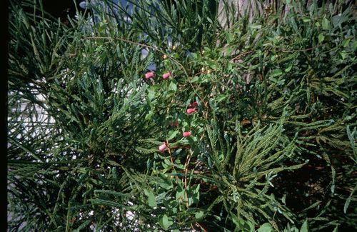 Clematis pitcheri in Cryptomeria japonica 'Araucarioides'