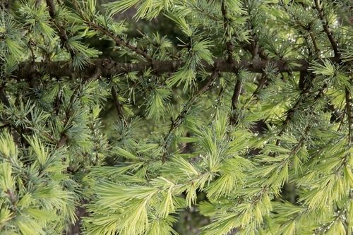 Cedrus needles are arranged in clusters on short shoots, giving the plants a distinctive texture. Photo by Janice LeCocq