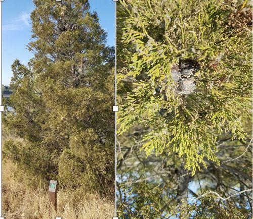 Widdringtonia cedarbergensis (W1), entire tree (l), close up (r)