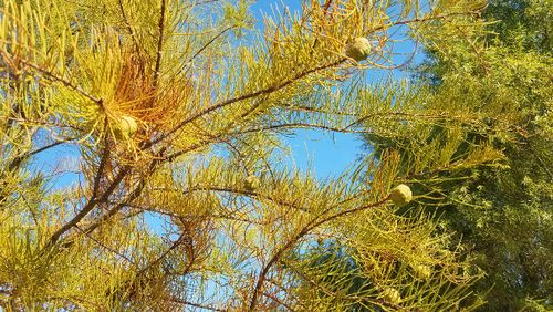 Taxodium ascendens branch, showing fall color and female cones