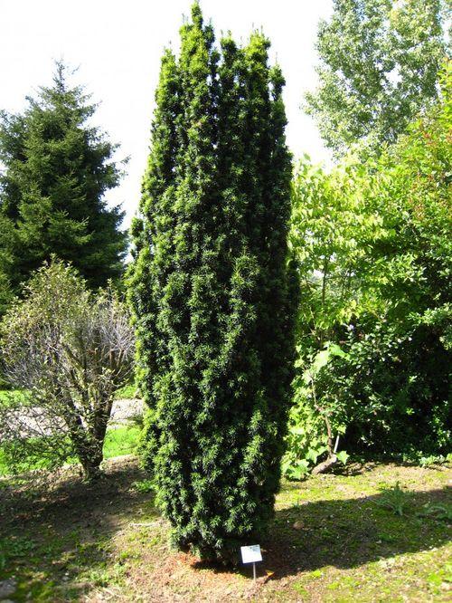 <em>Taxus baccata</em> 'Fastigiata' in the Arboretum de Chèvreloup in Rocquencourt.