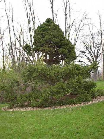 <em>Picea abies </em> [Merrell Broom Tree] — this photo shows the original mother broom tree with the broom attached. The photo was taken in the Harper Collection, at Michigan State University's Hidden Lake Gardens, Tipton, Michigan. This tree was planted in the collection in 1996.