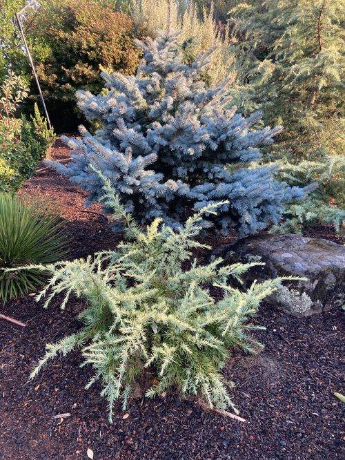 A lovely golden dwarf Himalayan cedar, 'Gold Cascade' will eventually become more conical in form