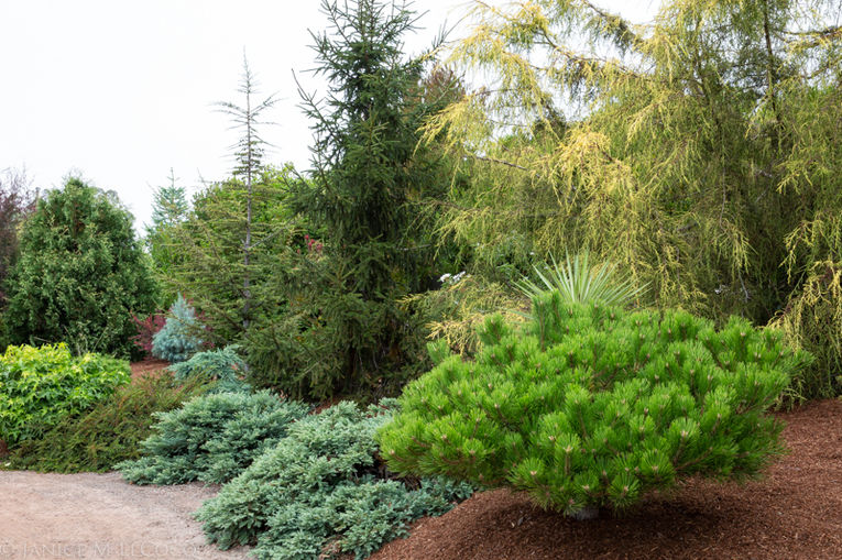 Pinus densiflora 'Low Glow' has rich green needles and a spreading habit