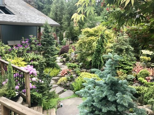 A dazzling display of conifers and rhododendron in the Klemens garden