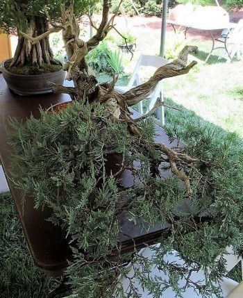 500-600 year old Rocky Mountain Juniper bonsai(Photo by Jeff Harvey)