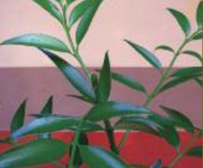 The broadleaf conifer, Asian bayberry (Nageia nagi)