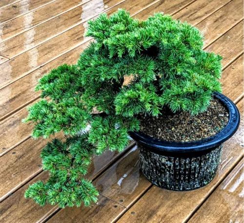 Conifer Bonsai Care Planting Repotting And Fertilizing American Conifer Society