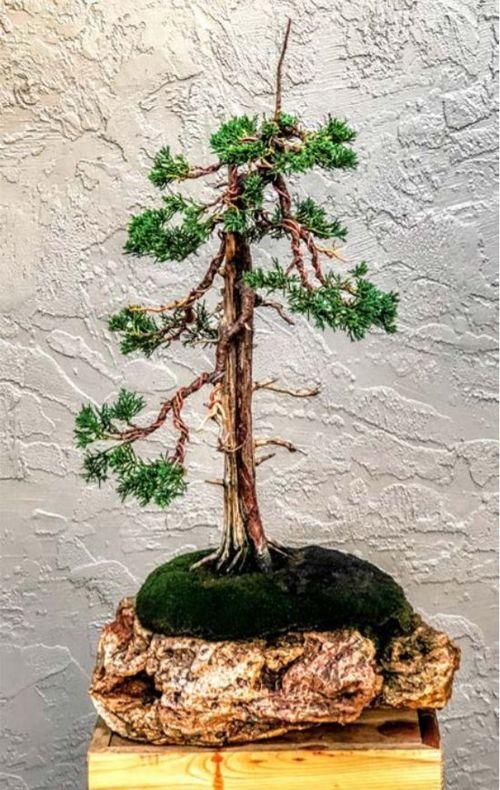 Conifer Bonsai Care Planting Repotting And Fertilizing American Conifer Society