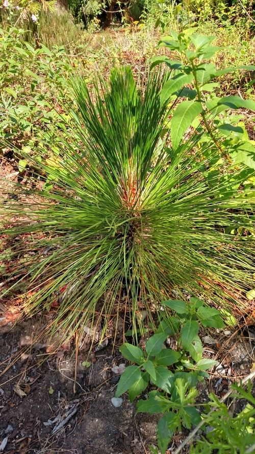 Pinus palustris — a southeastern native trying to make it in the Northwest. Best of luck to the experiment.