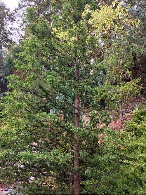 The Bald cypress (Taxodium distichum) 'Twisted Logic' introduced by Tom Cox (Cox Arboretum)