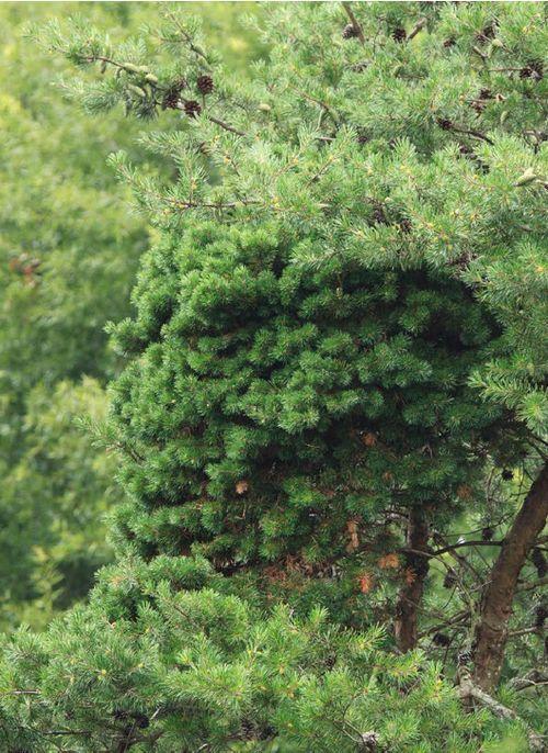 The Virginia pine (Pinus virginiana) 'Fluffy Cloud' witch's broom