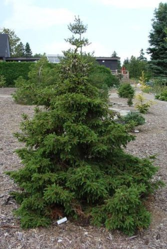 The conifer, 'Halle's Cone' red spruce (Picea rubens 'Halle's Cone')