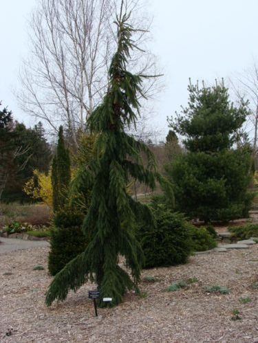 The conifer, 'Jack William' black spruce (Picea mariana 'Jack William')