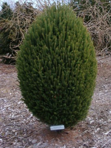 The conifer, 'Craig' black spruce (Picea mariana 'Craig')