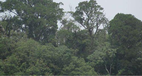 A wide shot of the conifer, Vietnamese golden cypress (Cupressus vietnamensis)