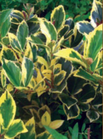The companion plant, the Blue Holly (Ilex x meserveae 'Honey Maid') Photo: Eaton Farms / Pennsylvania Pride Trees