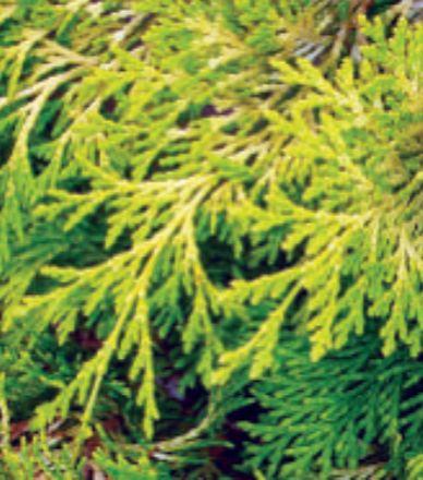 A conifer complement, the Golden Hinoke Cypress (Chamaecyparis obtusa 'Crippsii') Photo: Eaton Farms / Pennsylvania Pride Trees