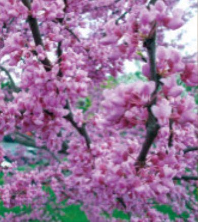 The companion plant, Eastern redbud (Cercis canadensis 'Flow') Photo: Eaton Farms / Pennsylvania Pride Trees