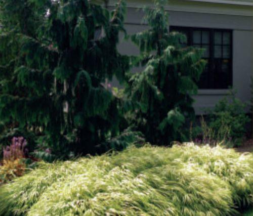 The Nootka cypress (Cupressus nootkatensis 'Pendula') with Hakone Grass (Hakonechloa 'Aureola') Photo: David Resavage, from a landscape renovation he designed