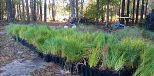 Longleaf pine (Pinus palustris) seedlings ready to be planted with dibble bars