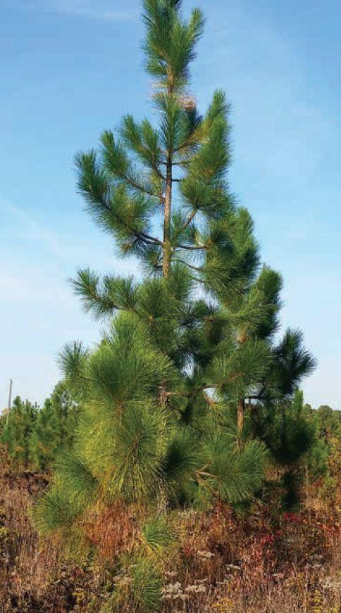 A young longleaf pine (Pinus palustris)