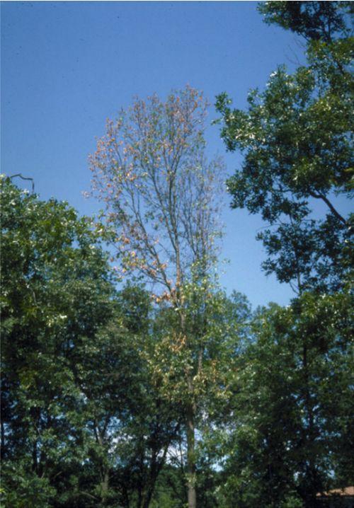 Dead oak leaves from oak wilt disease