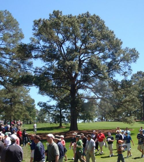 The Pinus taeda known as 'The Eisenhower Tree' at the Augusta National Golf Club during the 2011 Masters Tournament.