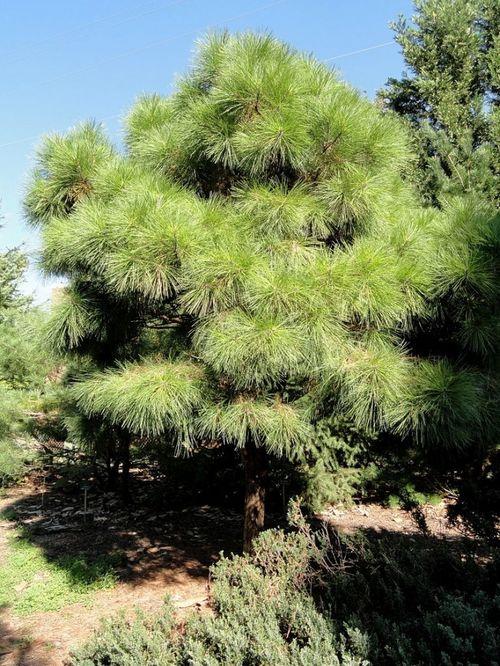 Pinus taeda 'Little Albert' specimen at the J. C. Raulston Arboretum (North Carolina State University), Raleigh, North Carolina.