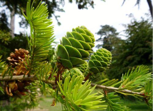 The rare conifer, David's keteleeria (Keteleeria davidiana), an evergreen from Taiwan and Southeast China