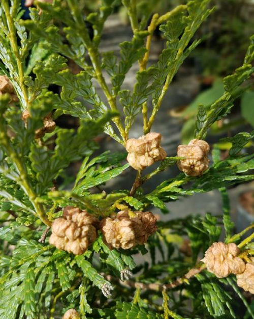 The exotic conifer, Fujian cypress (Chamaecyparis hodginsii) from China and Vietnam