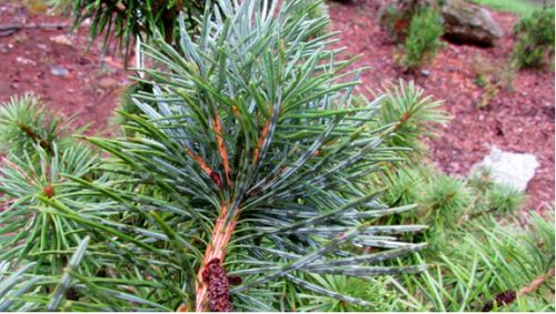 The conifer, Cathay silver fir (Cathaya argyrophylla) from China, showing the abaxial side of the leaf