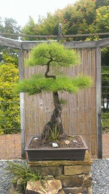 Taxodium distichum var. imbricarium bonsai at the Smith-Gilbert Garden