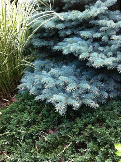 The conifer, Colorado blue spruce (Picea pungens 'Globosa') complemented by variegated silver grass (Miscanthus sinensis 'Variegatus') and creeping juniper (Juniperus horizontalis 'Wiltonii')