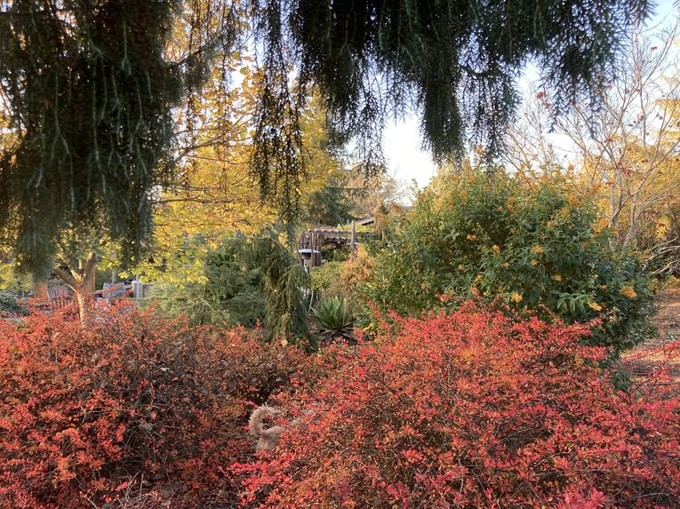 Berberis 'Lime Glow' in fall color, framed by conifers