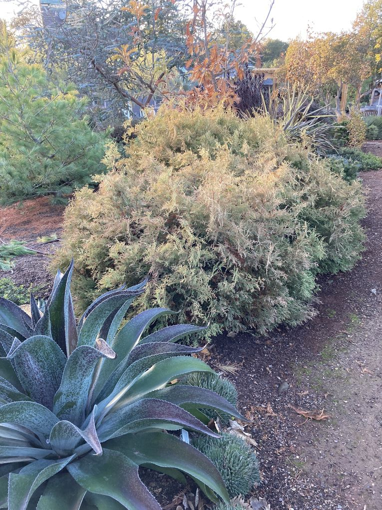 The exception that tests the rule: Thuja occidentalis 'Rheingold'