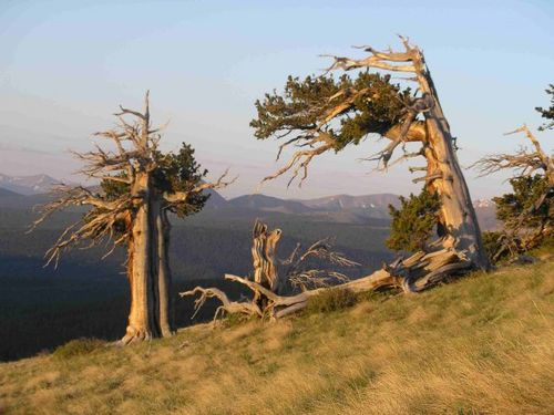 Summer solstice sunrise on windy ridge with ancient pines