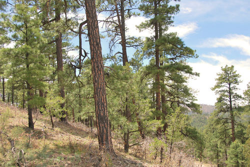 Ponderosa pines (Pinus ponderosa) at Gila National Forest, NM