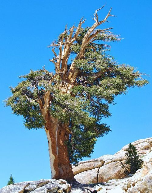 Ancient foxtail pine (Pinus balfouriana) on Alta Peak above Giant Forest, Sequoia National Park