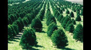 What most people think when they hear 'conifer'