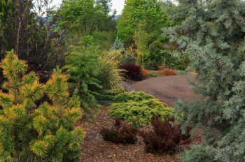 Conifers add color to the garden all year long! Photo by Janice LeCocq