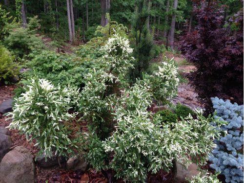 The Japanese cedar of Knapton (Cryptomeria japonica 'Knaptonensis')