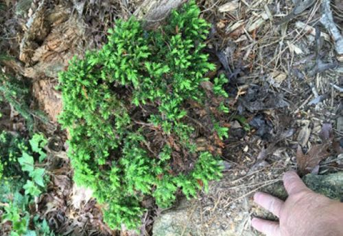 A 'Tenzan' Japanese cedar (Cryptomeria japonica 'Tenzan')