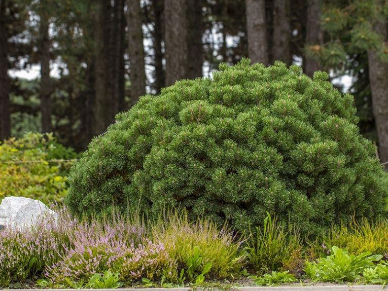 Pinus mugo var. pumilio cultivar