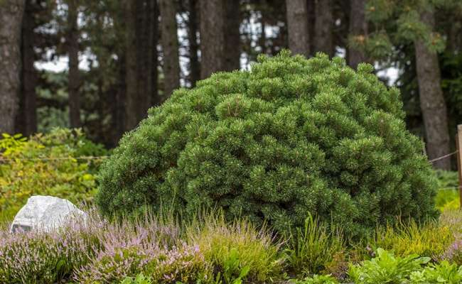 10 Types of Pine Trees that Everyone Should Know