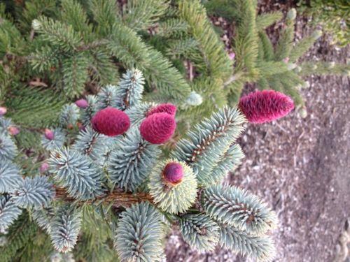 Seed cones on <em>Picea Pungens</em> 'Pendula'