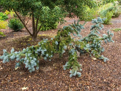'Pendula' Colorado spruce – conifer or sculpture?