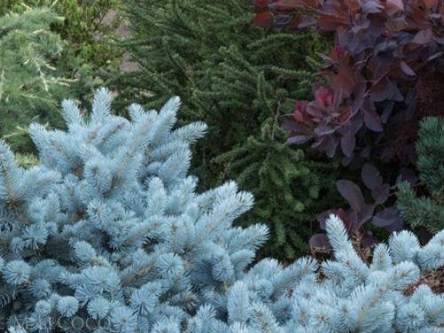 <em>Picea pungens</em> (Colorado blue spruce) 'Lucretia'