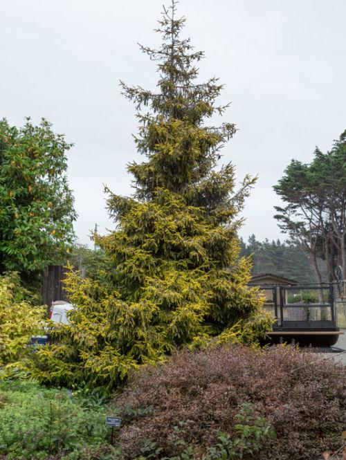 <em>Picea orientalis</em> 'Skylands' at the Mendocino Coast Botanical Gardens