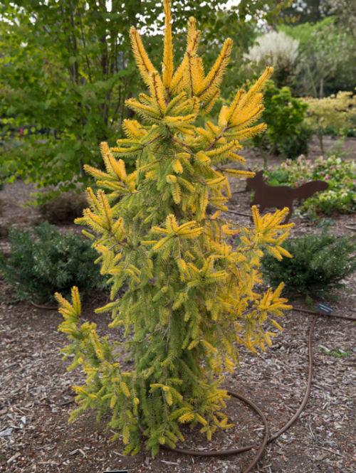 <em>Picea abies</em> 'Aurea Magnifica' at Circle Oak Ranch in California.<br> Photo by Janice LeCocq